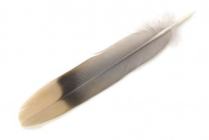 Band-tailed Pigeon tail feather showing the characteristic band. Photo by Chris Maynard