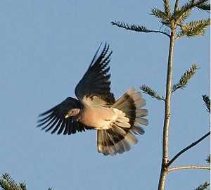 Band-tailed Pigeon. Patagioenas fasciata  Photo by Bill Walker