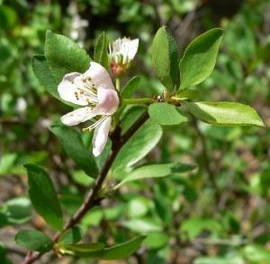 Prunus Subcordata leaves and flowers detail