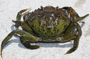 green_crab_image