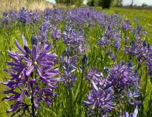 Click to read more about camassia quamash.